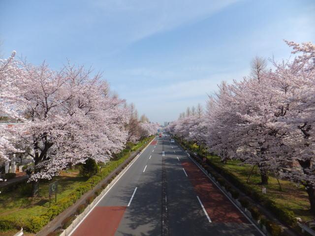 国立市の桜 (H24.4